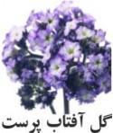 رایحه گل آفتاب پرست (هلیوتروپ)