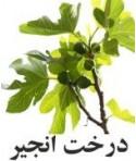 رایحه درخت انجیر