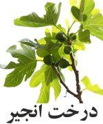 انجير درخت