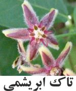 Silk Vine or شير Broom