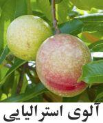 Cassowary fruit