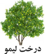 ليمو درخت