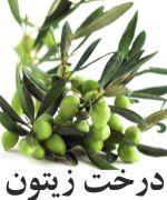 زيتون درخت